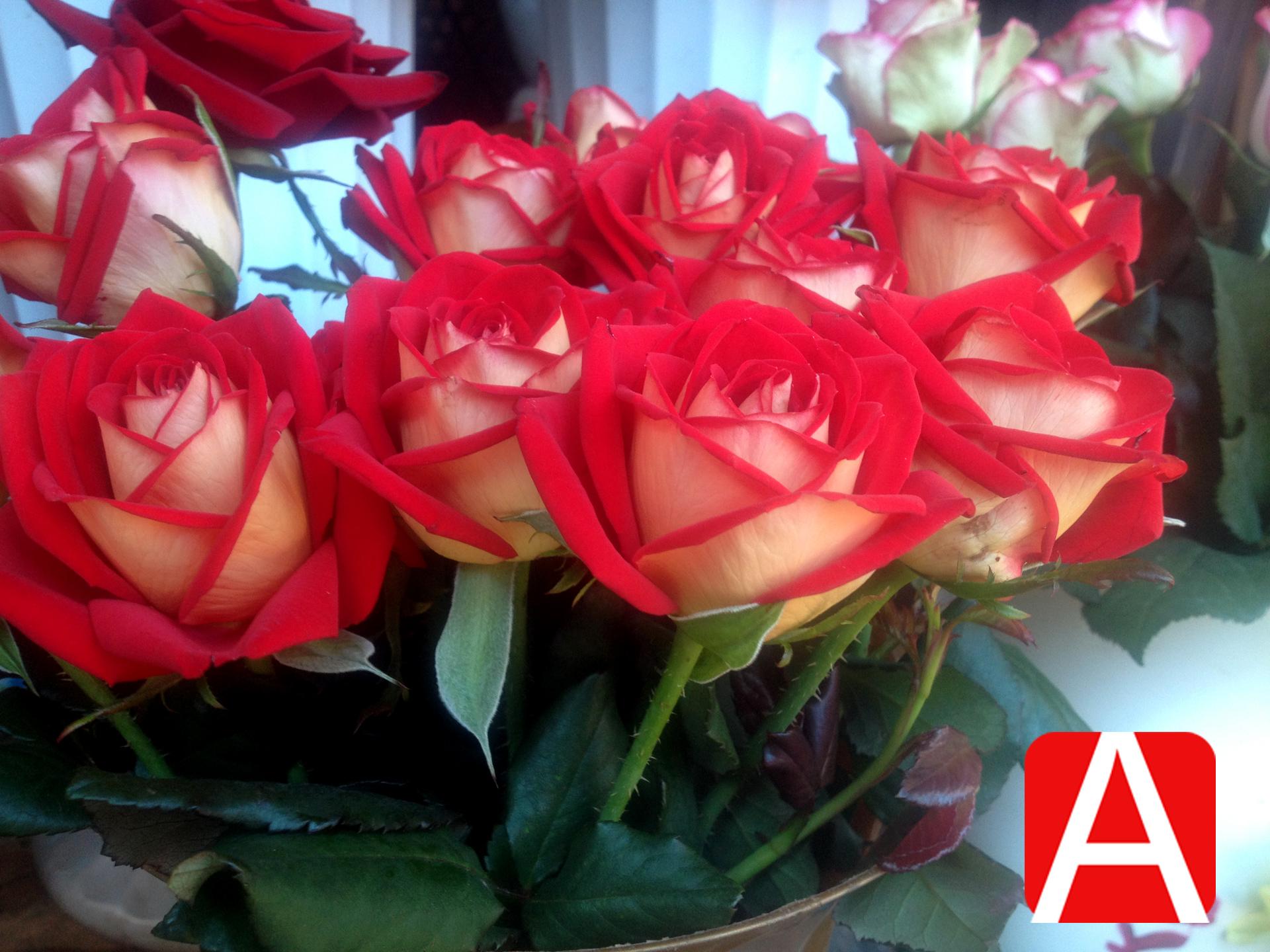 Розы оптом Эквадор